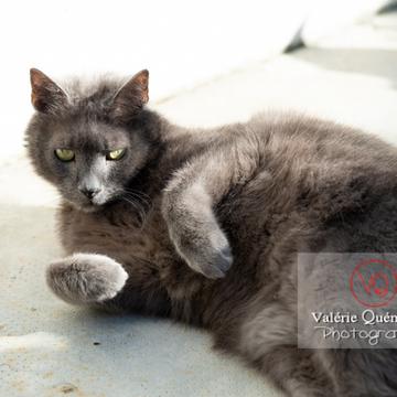 Chat domestique bleu (gris) allongé sur le côté - Réf : VQA1-24-0841 (Q3)