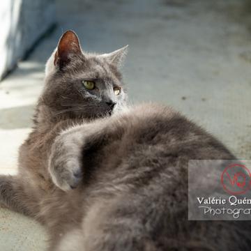 Chat domestique bleu (gris) allongé sur le côté - Réf : VQA1-24-0844 (Q3)