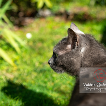 Portrait d'un chat domestique bleu (gris) de profil dans un jardin - Réf : VQA1-24-0850 (Q3)