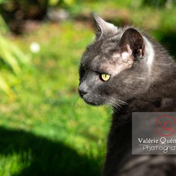 Portrait d'un chat domestique bleu (gris) dans un jardin - Réf : VQA1-24-0851 (Q3)
