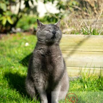 Bain de soleil d'un chat domestique bleu (gris) - Réf : VQA1-24-0852 (Q3)
