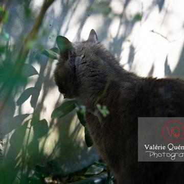 Chat domestique bleu (gris) camouflé dans le feuillage - Réf : VQA1-24-0853 (Q3)