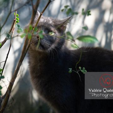 Chat domestique bleu (gris) dans l'ombre du feuillage - Réf : VQA1-24-0854 (Q3)