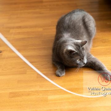 Chat domestique bleu (gris) jouant avec une brindille - Réf : VQA1-24-0861 (Q3)