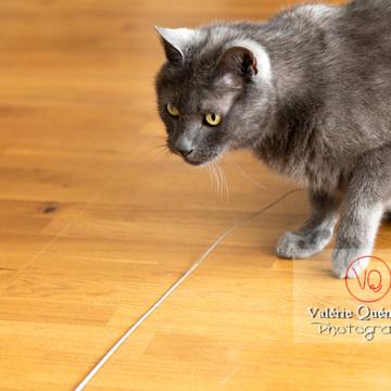 Chat domestique bleu (gris) à l'affût - Réf : VQA1-24-0864 (Q3)