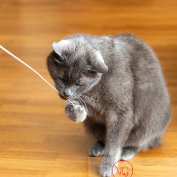 Chat domestique bleu (gris) jouant avec une brindille - Réf : VQA1-24-0866 (Q3)