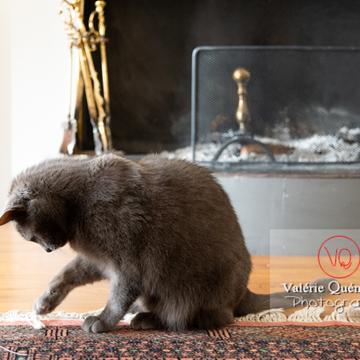 Chat domestique bleu (gris) jouant avec une brindille - Réf : VQA1-24-0869 (Q3)