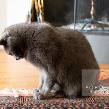Chat domestique bleu (gris) - Réf : VQA1-24-0871 (Q3)