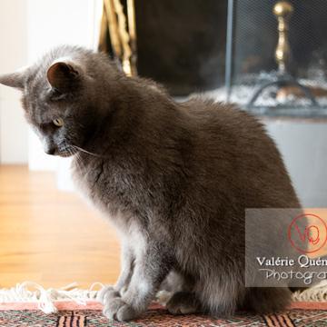 Chat domestique bleu (gris) - Réf : VQA1-24-0872 (Q3)