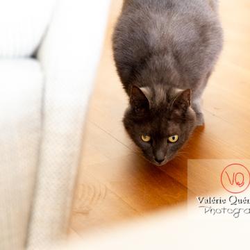 Chat domestique bleu (gris) tapit - Réf : VQA1-24-0878 (Q3)