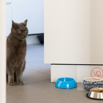 Chat domestique bleu (gris) attendant sa pâtée - Réf : VQA1-24-0884 (Q3)