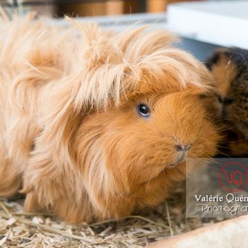Cochons d'Inde ou cobaye domestique à poil long - Réf : VQA1-34-0015 (Q3)