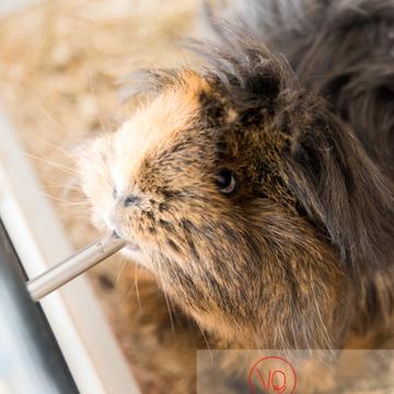 Cochon d'Inde ou cobaye domestique à poil long se rafraîchissant - Réf : VQA1-34-0017 (Q3)