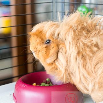 Cochon d'Inde ou cobaye domestique à poil long devant sa gamelle - Réf : VQA1-34-0019 (Q3)