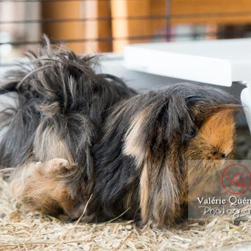 Cochon d'Inde ou cobaye domestique à poil long - Réf : VQA1-34-0021 (Q3)