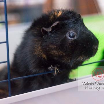 Portrait cochon d'Inde ou cobaye domestique noir - Réf : VQA1-34-0023 (Q3)