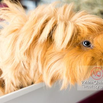 Portrait cochon d'Inde ou cobaye domestique à poil long - Réf : VQA1-34-0034 (Q3)