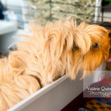Cochon d'Inde ou cobaye domestique à poil long mangeant dans la main - Réf : VQA1-34-0036 (Q3)