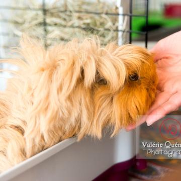 Cochon d'Inde ou cobaye domestique à poil long mangeant dans la main - Réf : VQA1-34-0037 (Q3)