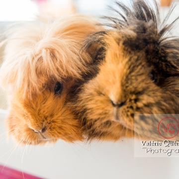 Portrait cochons d'Inde ou cobaye domestique à poil long - Réf : VQA1-34-0040 (Q3)