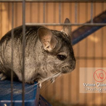 Chinchilla dans sa cage - Réf : VQA1-34-0049 (Q3)