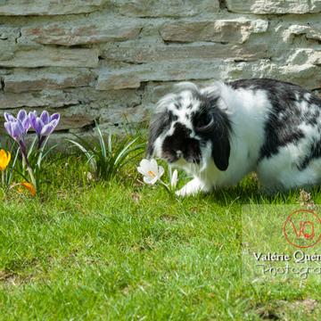 Lapin bélier noir & blanc - Réf : VQA1-37-0010 (Q2)