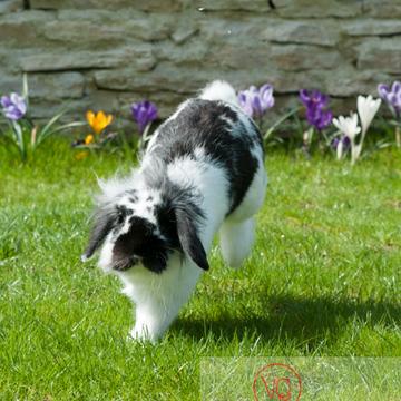 Lapin bélier noir & blanc - Réf : VQA1-37-0012 (Q2)