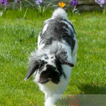 Lapin bélier noir & blanc - Réf : VQA1-37-0013 (Q2)