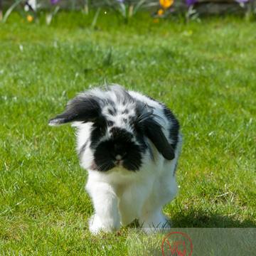 Lapin bélier noir & blanc - Réf : VQA1-37-0014 (Q2)
