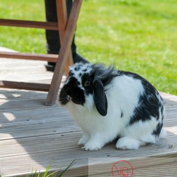 Lapin bélier noir & blanc - Réf : VQA1-37-0015 (Q2)