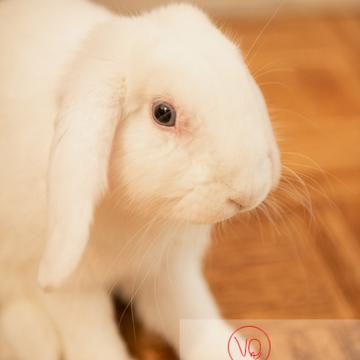Portrait d'un lapin bélier blanc avec l'œil irrité - Réf : VQA1-37-0028 (Q3)