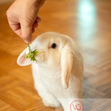 Lapin bélier blanc à qui l'on donne un brin de persil - Réf : VQA1-37-0050 (Q3)