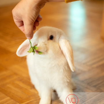 Lapin bélier blanc à qui l'on donne un brin de persil - Réf : VQA1-37-0051 (Q3)