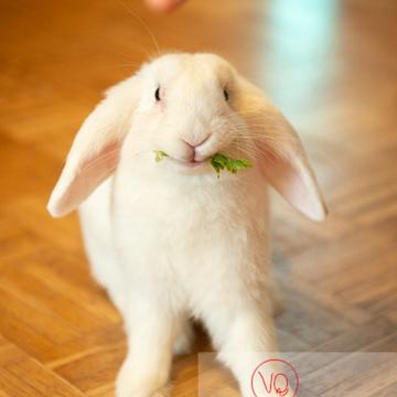 Lapin bélier blanc à qui l'on donne un brin de persil - Réf : VQA1-37-0053 (Q3)