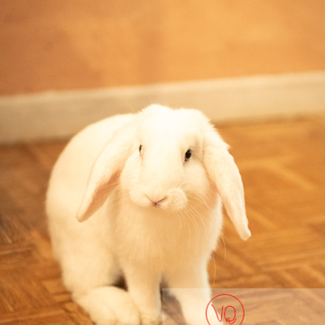 Portrait d'un lapin bélier blanc - Réf : VQA1-37-0056 (Q3)
