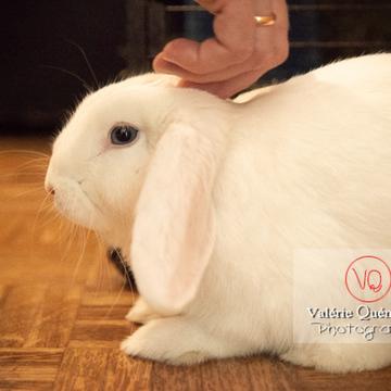 Caresse d'un lapin bélier blanc de profil - Réf : VQA1-37-0068 (Q3)