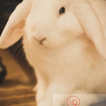 Portrait d'un lapin bélier blanc - Réf : VQA1-37-0076-2 (Q3)