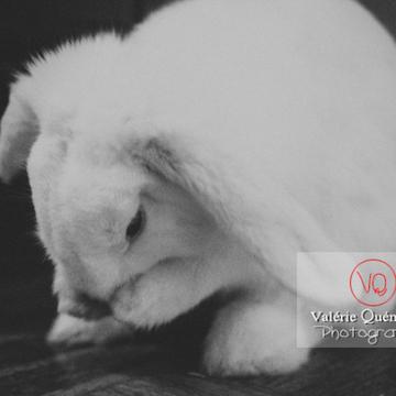 Portrait d'un lapin bélier blanc se toilettant - Réf : VQA1-37-0083-NB (Q3)