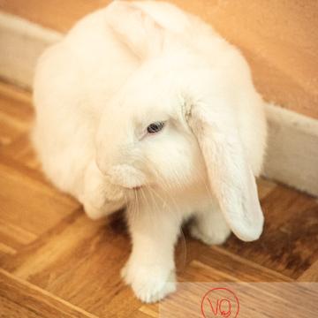 Portrait d'un lapin bélier blanc - Réf : VQA1-37-0086 (Q3)