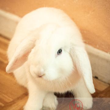 Portrait d'un lapin bélier blanc - Réf : VQA1-37-0087 (Q3)