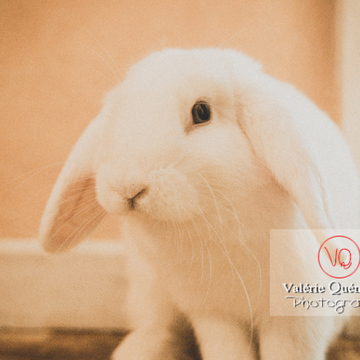 Portrait d'un lapin bélier blanc - Réf : VQA1-37-0090-2 (Q3)