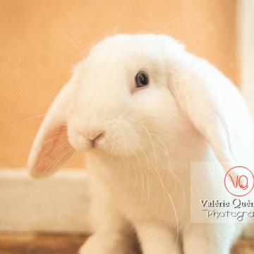 Portrait d'un lapin bélier blanc - Réf : VQA1-37-0090 (Q3)