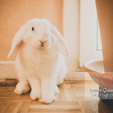 Portrait d'un lapin bélier blanc - Réf : VQA1-37-0092-2 (Q3)