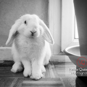 Lapin bélier blanc - Réf : VQA1-37-0092-NB (Q3)