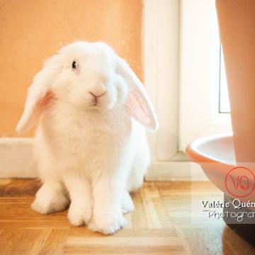 Portrait d'un lapin bélier blanc - Réf : VQA1-37-0092 (Q3)