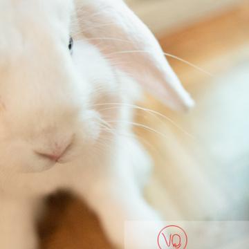 Portrait d'un lapin bélier blanc - Réf : VQA1-37-0094 (Q3)
