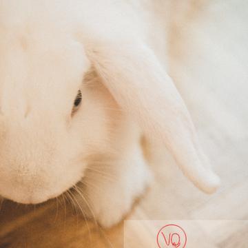 Portrait d'un lapin bélier blanc - Réf : VQA1-37-0096-2 (Q3)