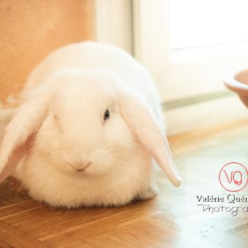 Lapin bélier blanc - Réf : VQA1-37-0098 (Q3)