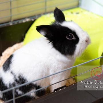 Lapin nain noir et blanc dans sa cage ouverte - Réf : VQA1-37-0100 (Q3)