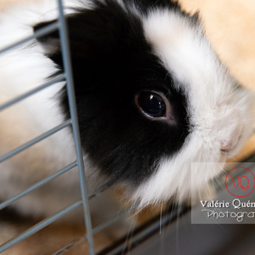 Lapin nain noir et blanc sortant la tête de sa cage - Réf : VQA1-37-0101 (Q3)